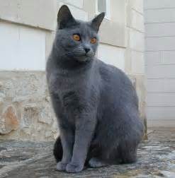 cat breeds chartreux information