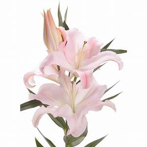 Blush Oriental Lily 30 Bloom Bouquet - Lilies - Gifts