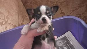 Images Of Long Haired Chihuahuas For Sale | Rachael Edwards