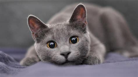 names for gray cats image names gray cat c973a4d20153d374