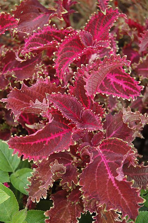 red ruffles coleus solenostemon scutellarioides red