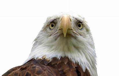 Eagle Sad Bald Thread Cutouts Cannot Purpose
