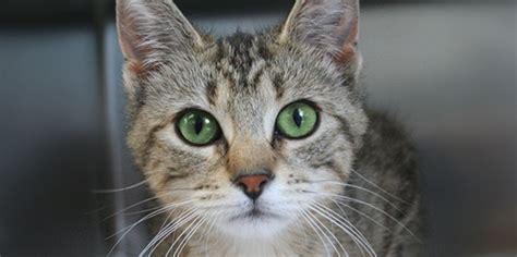adopt  pet  toronto humane society