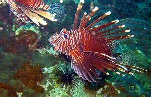 Lionfish Eating Fish for Sale