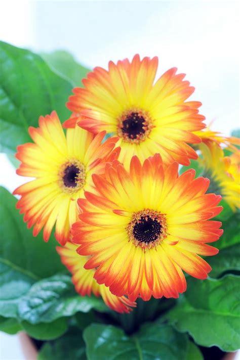 gerbera en pot le gerbera en pot le pouvoir des fleurs