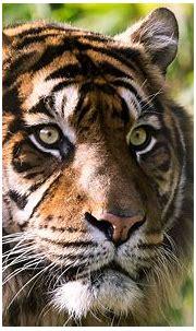 Tiger 4K Wallpaper Download - High Resolution 4K Wallpaper