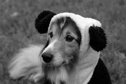 Sheltie Dog Funny Hat Breed Dogs Wallpapers