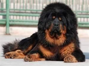 Chinese Tibetan Mastiff, dogs, mastiffs 60329
