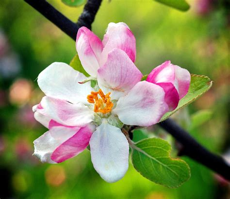 Free Images : tree nature branch blossom petal bloom