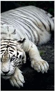 [71+] White Tiger Background on WallpaperSafari