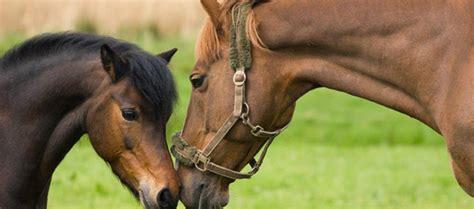 horse pony multi vitamin supplement  horses