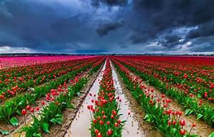 BANCO DE IMGENES 30 Fotos De Tulipanes En Varios Colores