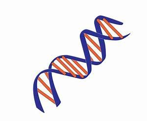 Nucleic Acid Double Helix