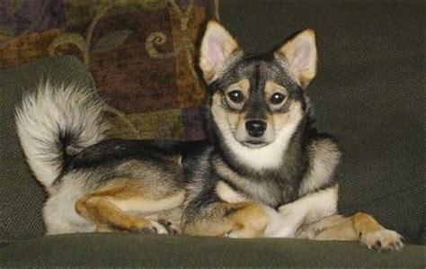 pom shi shiba inu pomerian mix dog info temp puppies