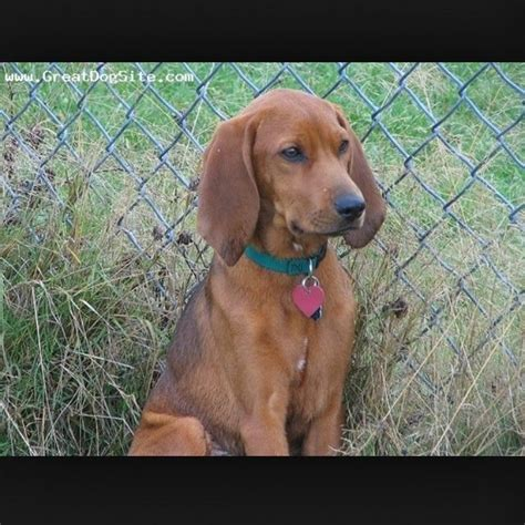 Do Redbone Coonhounds Shed by 17 Best Images About My Other Named Sally On