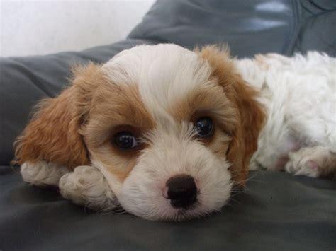 Best Bichon Frise Dog Names
