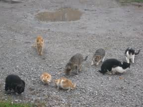 how do house cats live file herd of cats jpg