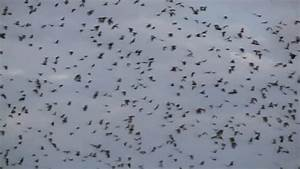 Bats Flying In Sky At Dusk Stock Footage Video 4802069 ...