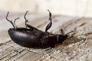 Großer Schwarzer Käfer Bilder : schwarzer k fer stockfoto bild von verstecken impuls 56779368 ~ Frokenaadalensverden.com Haus und Dekorationen