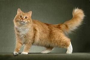 Сибирский кот - Котоблог