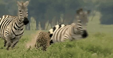 zebra gif find share  giphy