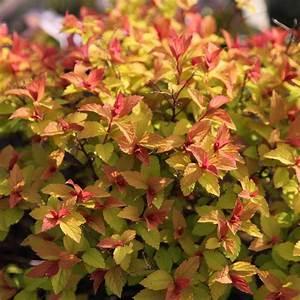 Buy Japanese Spirea Goldflame Spiraea Japonica  U0026 39 Goldflame U0026 39   Delivery By Waitrose Garden In