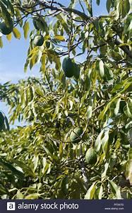 Avocado Baum Pflege : avokado pflanzen avocado pflanzen schritt f r schritt anleitung von kern zur avocado pflanze ~ Orissabook.com Haus und Dekorationen