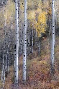Aspen, Trees, Fall, Tree, Decor, Colorado, Art, Rustic, Wall, Art
