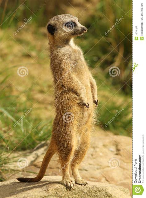 meerkat pictures kids search