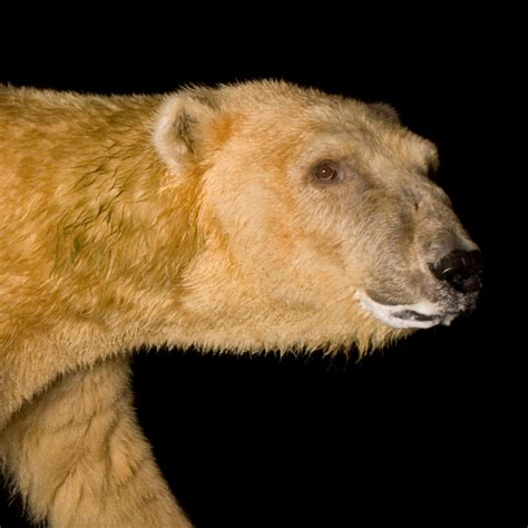polar bear national geographic