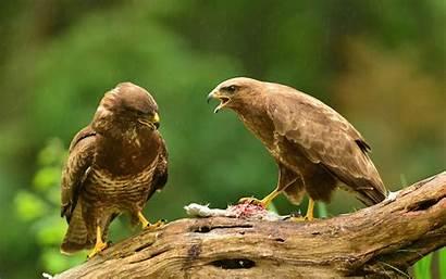Hawk Hawks Wallpapers Desktop Mobile Computer Bird