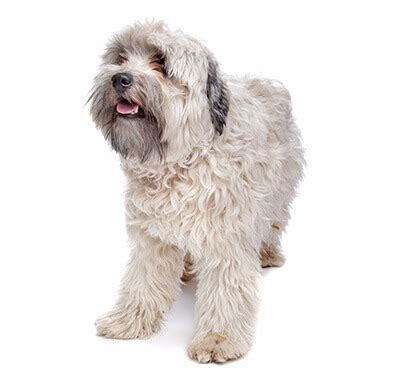 The löwchen is bichon related breed, with a long, silky coat that is presented in a lion cut. Löwchen | Purina
