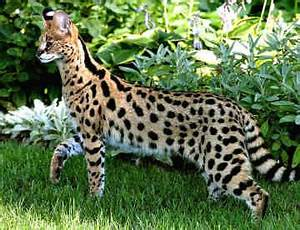 Cat Pictures: Pictures Of Savannah Cats