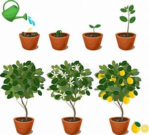 Life Cycle Of Tomato Plant  Stages Of Growth From Seed And