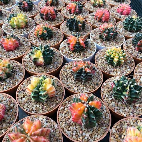 Thai Seeds-Cactus Gymnocalycium mihanovichii Variegata ...