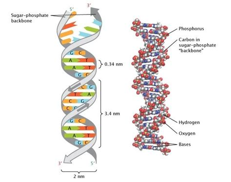 The Structure Of Double-stranded Dna Is Shown In Two Ways