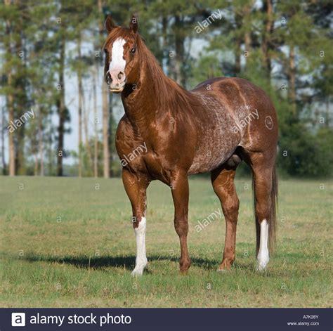 Red Roan American Quarter Horse