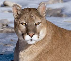 Animal Facts  Cougar