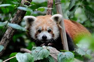 Cute animal picture of the day: red panda