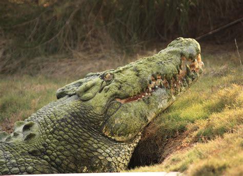 Saltwater Crocodile Male