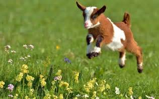 Sweet Animals Wallpaper - baby goat spring flowers sweet animals 1280x768 hd