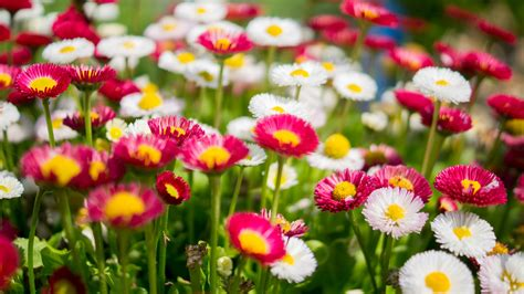 colorful flowers wallpaper daisies colorful pink white flower garden