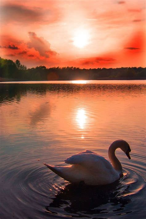 Swans Sunsets And Truths On Pinterest