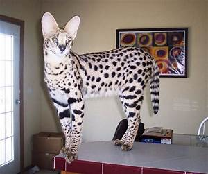 17 Best images about serval cats on Pinterest | Richard ...