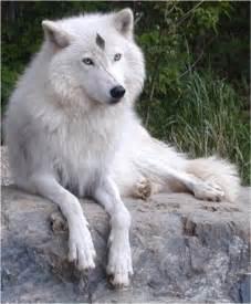 Female White Wolf with Blue Eyes