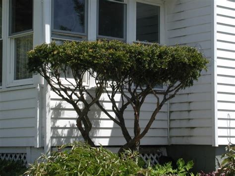 pruning yew trees how to prune yew shrubs bushes into bonsai looking trees with the help of deer vip