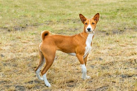 Basenji Shedding A Lot by 13 Wonderful Breeds That Barely Shed Tiphero