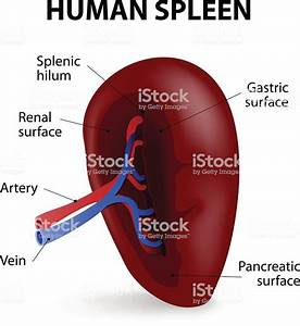Diagram Of The Pats Of The Spleen Stock Illustration