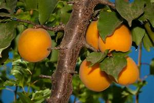 Apricot Trees Archives - Ison's Nursery & Vineyard