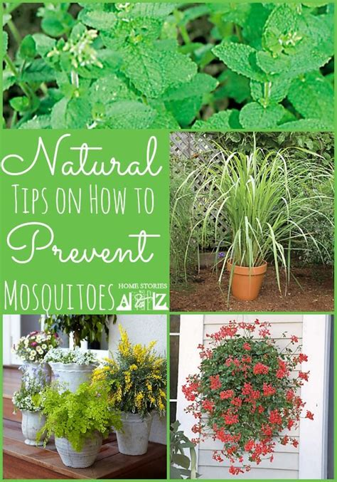 mosquito repelling shrubs 189 best images about area plants landscaping on pinterest trees hedges and north carolina
